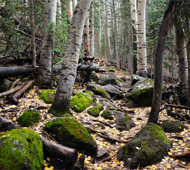 Trees at the Humphreys Peak Trail