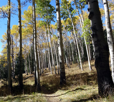 Trees at the Kachina Trail