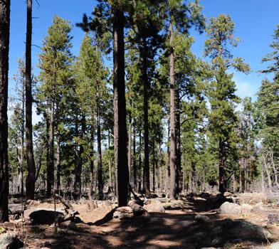 Bill Williams Trail Trees