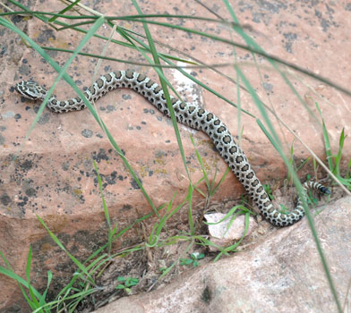 Snake on the Bright Angel Trail