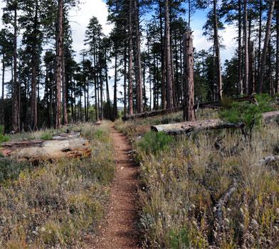 Trees at Widforss Trail